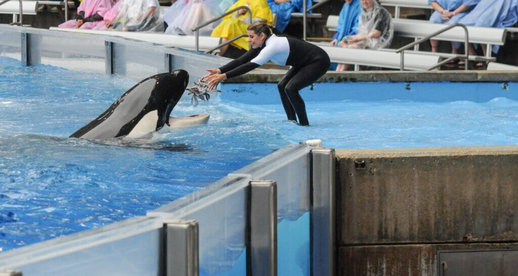 orca being fed at SeaWorld Orlando