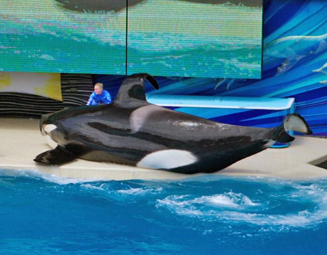 Seaworld Orca Dorsal Fin