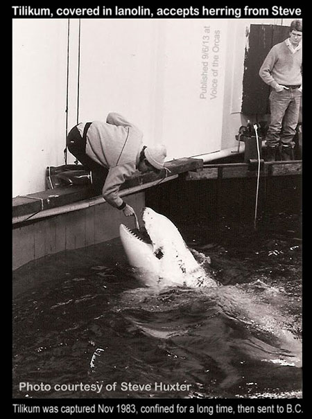 This image shows Tilikum covered with lanolin, an oil extracted from sheep's wool. It is applied to orcas' whole bodies to prepare them for a long transport without water.