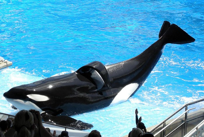 Tilikum has a collapsed dorsal fin, a sign of an unhealthy and stressed orca. Many orcas in captivity (but few in the wild) have collapsed fins.