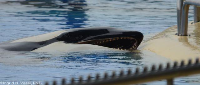 One Year After Tilikum's Death, PETA Urges SeaWorld to Ban Breeding