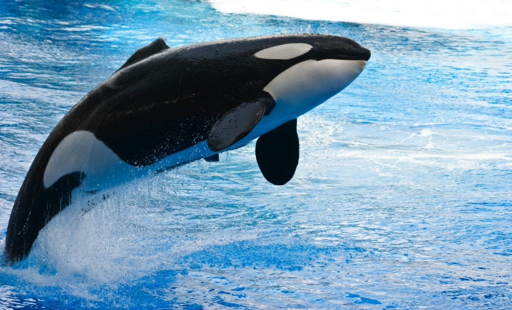 jumping-orca-1024x620