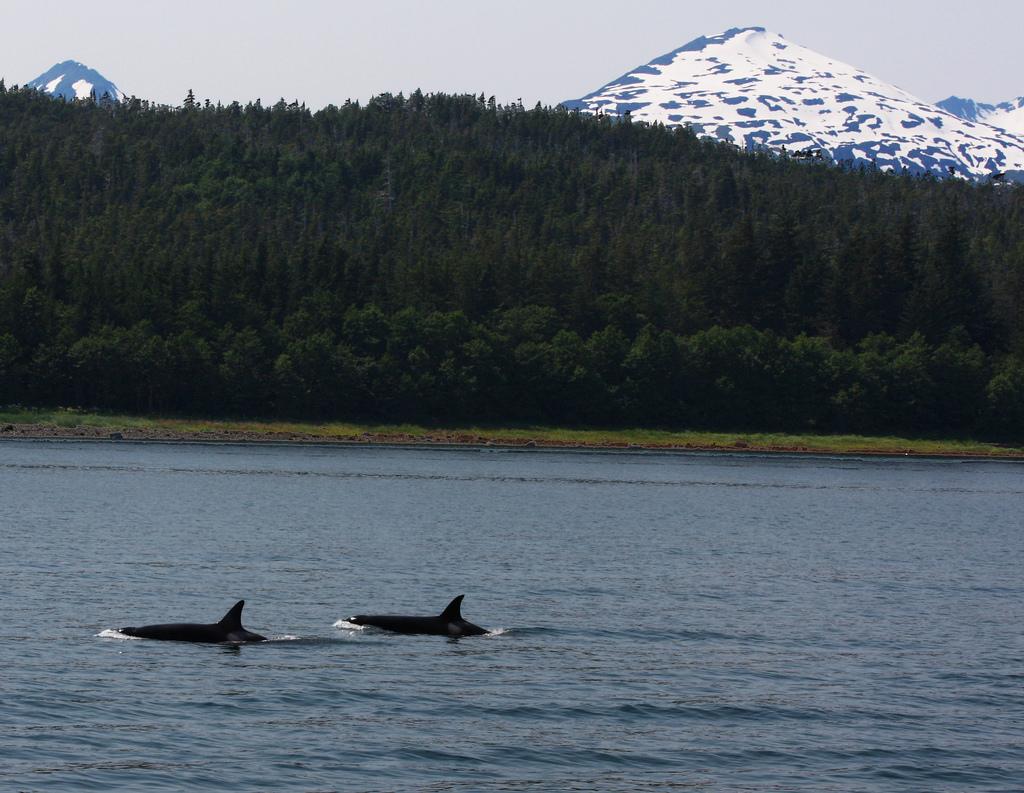wild-orca
