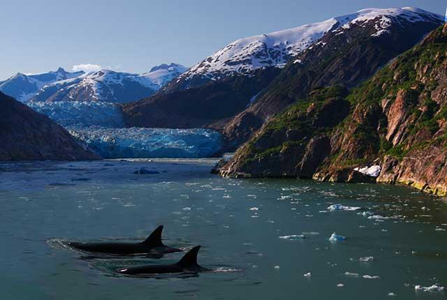 orca-swimming-glacier