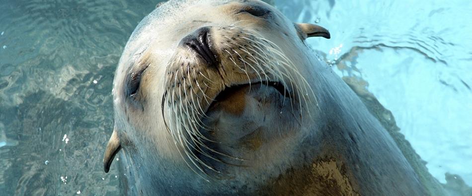 sea lion sealion