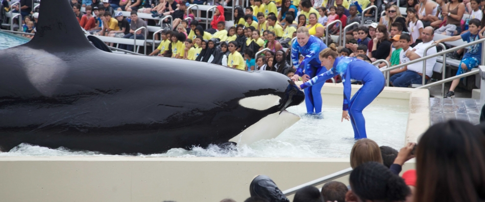 Orca With Trainer at SeaWorld San Diego