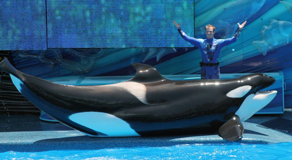 Collapsed Dorsal fin on Katina at SeaWorld Orlando