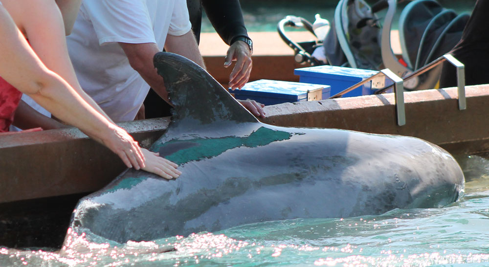 Public Interaction with Dolphin at SeaWorld Orlando