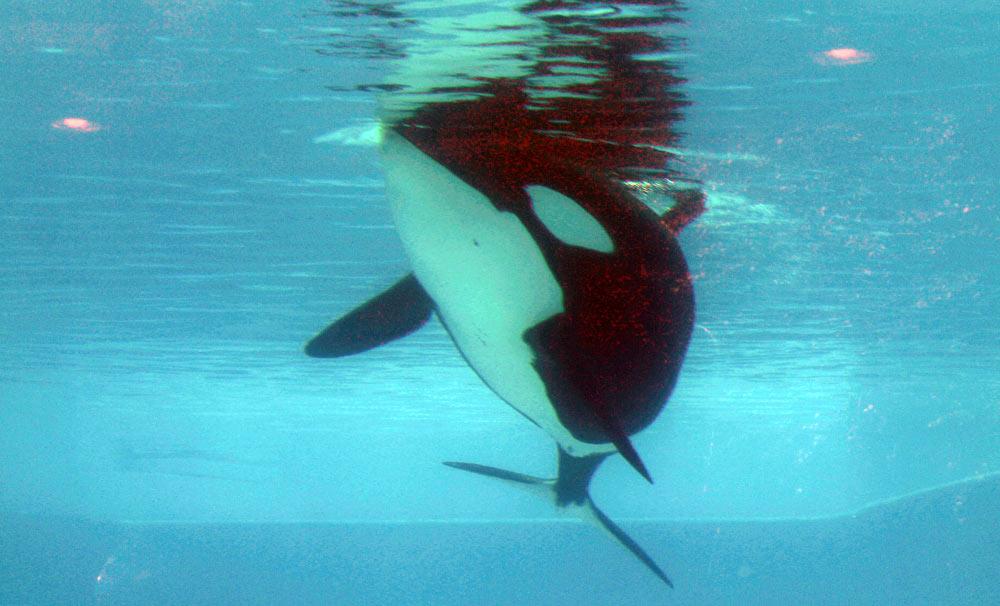 Trua floating listlessly at SeaWorld Orlando