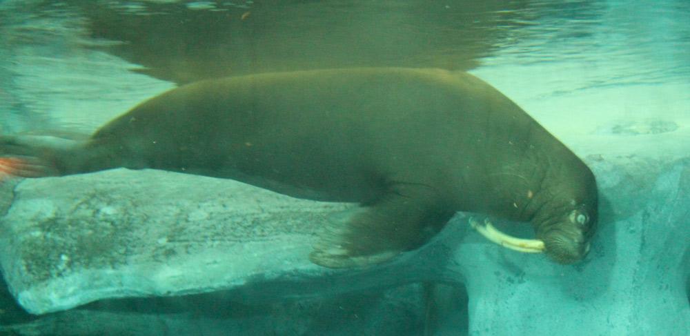 Walrus Stereotypic Swimming Listless at SeaWorld Orlando
