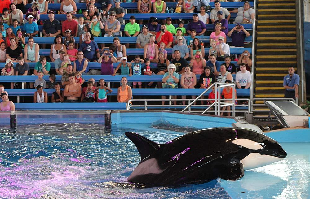 orca-at-seaworld-San-Antonio