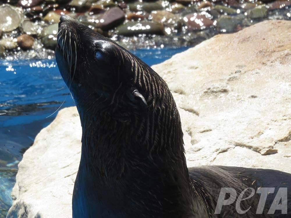 Sea-lion-eye-injury-Mundo-Marino-cataracts