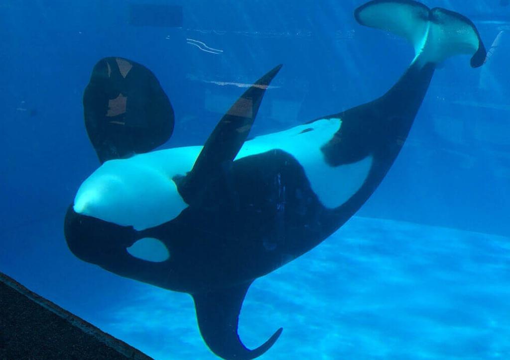 orca-upside-down