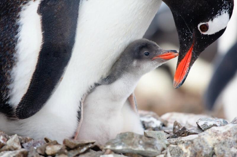 babypenguin