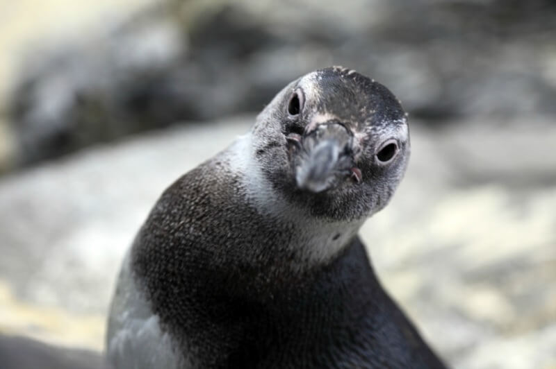 penguinlook