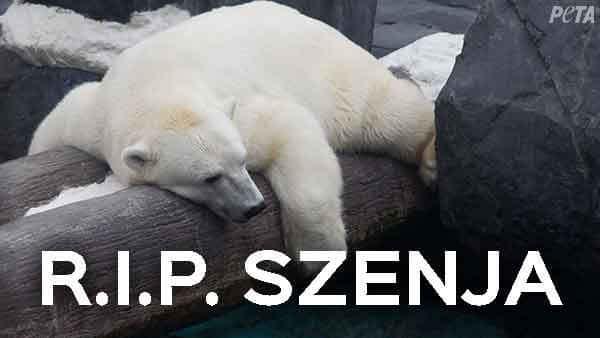 Polar Bear Szenja Dies Alone Of A Broken Heart Peta Believes