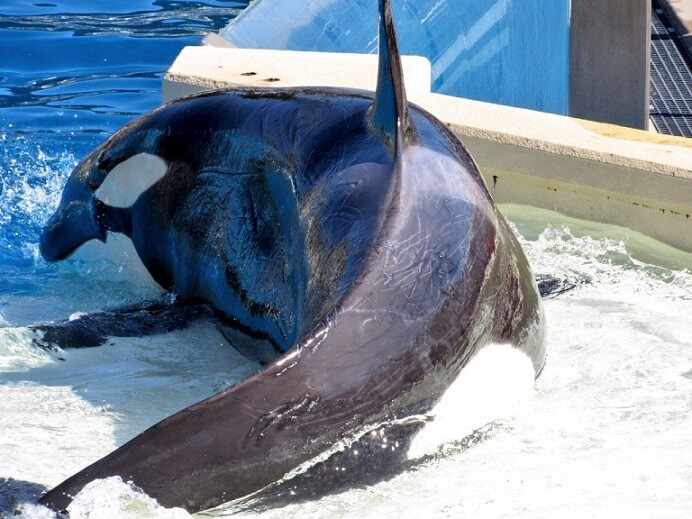 makani, orphaned orca, kasatka dead, seaworld san diego, orca aggression, rake marks