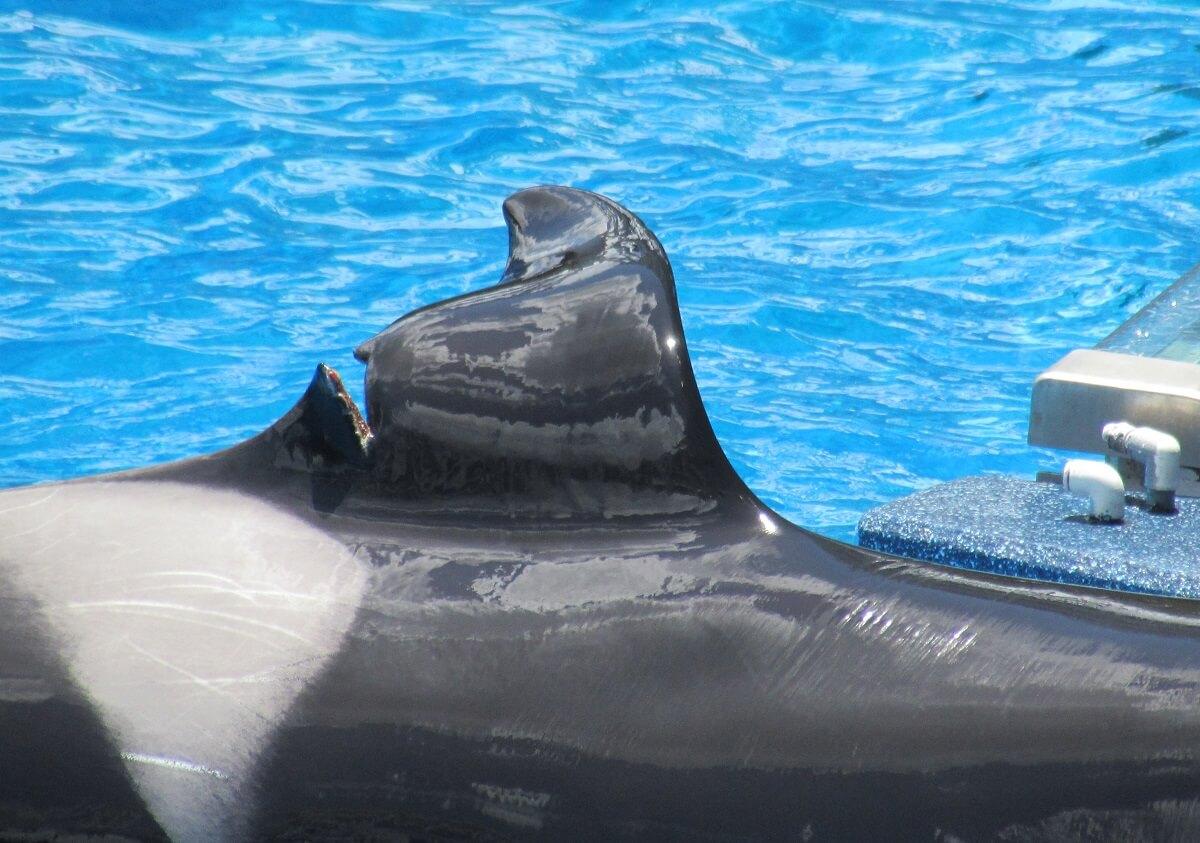 orca katina's dorsal fin split open at seaworld orlando