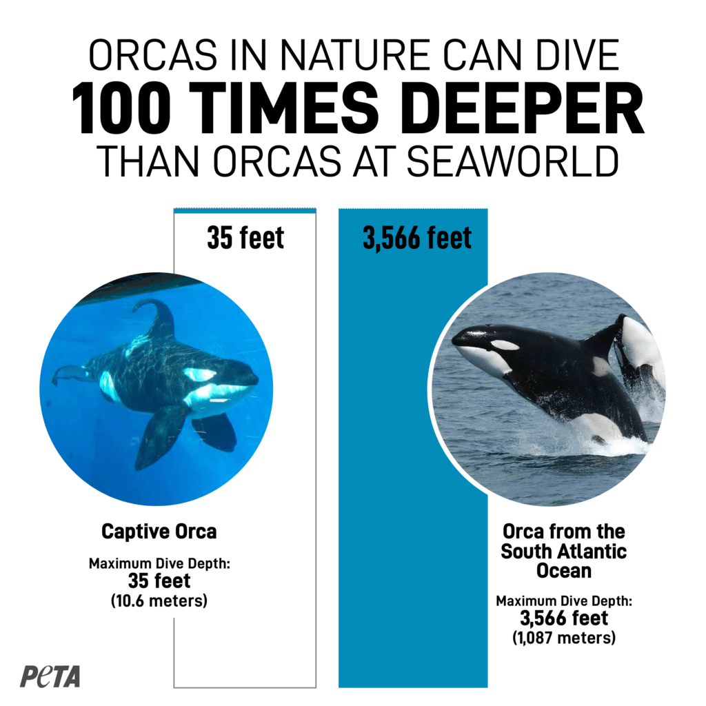 How Deep Can Orcas Dive