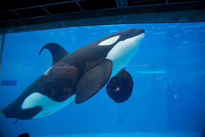 An orca floating listlessly in a tank